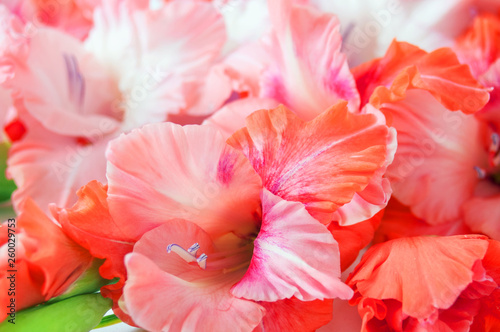 Fotografía pink and red gladiolus bunch background