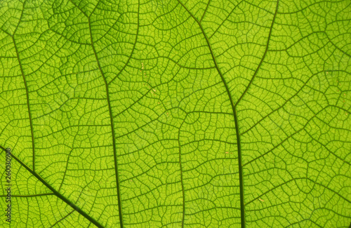 Extreme close up texture of green leaf veins