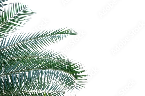 Foto auf AluDibond Palms Cycad leaves on white isolated background for green foliage backdrop