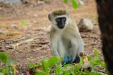 Fototapeta Sawanna - Vervet Monkey Tsavo West Kenya