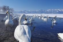 The Swan Lake, Lake Kussharo In Hokkaido, Japan 屈斜路湖 北海道