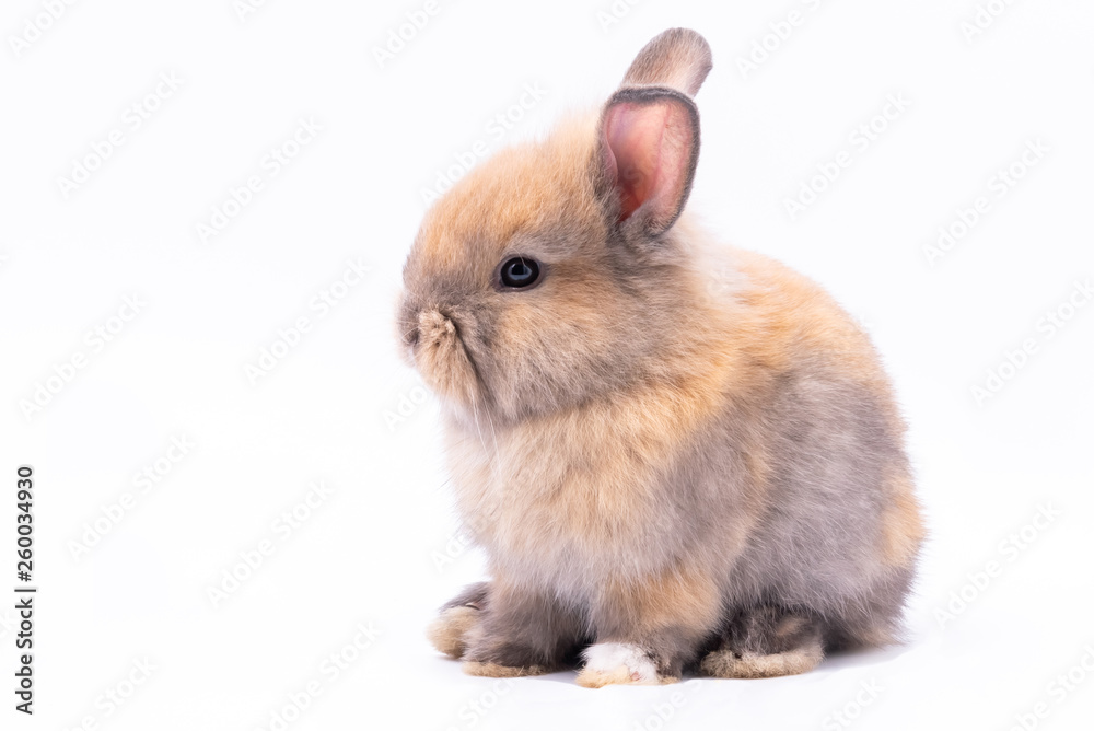Fototapety, obrazy: Baby cute rabbits has a pointed ears, brown fur and sparkling eyes, on white Isolated background, to Easter festival and holidays concept.