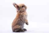 Fototapeta Zwierzęta - Baby cute rabbits has a pointed ears, brown fur and sparkling eyes, on white Isolated background, to Easter festival and holidays concept.