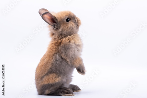 Foto Baby cute rabbits has a pointed ears, brown fur and sparkling eyes, on white Isolated background, to Easter festival and holidays concept