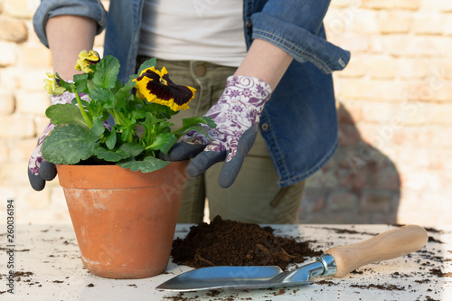 Papiers peints Pansies Gardeners hands planting flowers in pot with dirt or soil. Gardening concept
