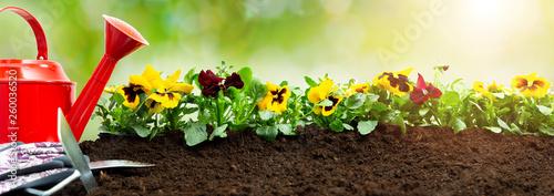 Poster Pansies Gardening tools on soil background. Planting spring pansy flower in garden. Spring garden work concept