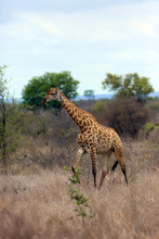 The Nubian Giraffe (Giraffa Camelopardalis Camelopardalis) On The Savannah. Big Giraffe Male Among Yellow Grass.