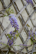 Beautiful, Lilac, Delicate Wisteria Flowers On The Wall. Natural Background
