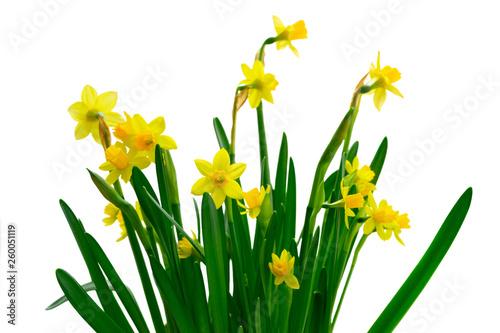 Carta da parati Yellow daffodil flowers