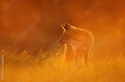 Photo  Close up of a Red fox at sunset