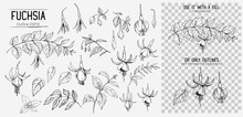 Set Of Fuchsia Flowers. Hand Drawn Illustration Converted To Vector. Isolated