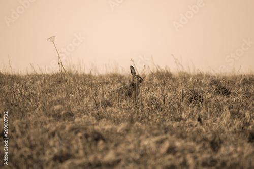 Photo Stands Antelope Ansicht eines Hasen im morgens Nebel