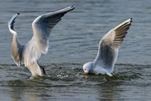 Black Headed Seagulls Diving I...