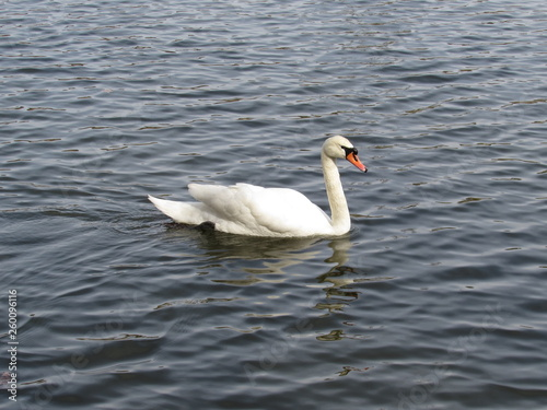 Foto auf Acrylglas Schwan swan on lake