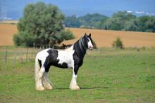 Pinto Irish Cob Horse Standing In The Summer Pasture. Horizontal, Side View, Portait.