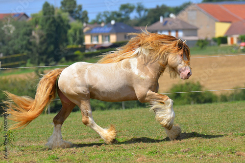 Valokuvatapetti Cremello pinto Irish cob stallion runs in gallop through field in summer