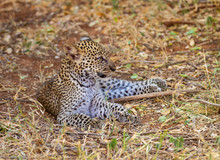 Leopard Baby Cub (Panthera Par...