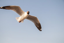Close Up Seagull Flying In The Air And Sky Background.Freedom Seagull Expand Wings In The Sky.