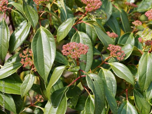 Vászonkép Viburnum cinnamomifolium - Viorne à feuilles de camphrier ou viorne à feuilles d