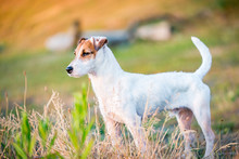 Jack Russell Terrier Dog Standing, Posing In Nature, Outdoors, Park At Sunset