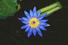Purple Lotus Flower