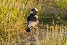 Blacksmith Plover Bird Or Blacksmith Lapwing (Vanellus Armatus) On Ground With Long Legs. Amboseli National Park, Kenya, Africa. Bird Watching On African Safari