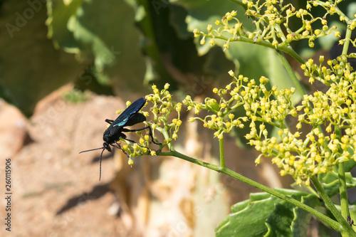 Photo Giant Black Spider-hunting Wasp, Cyphononyx atropos, foraging nectar on  Namibia