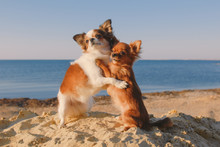Dog Family Of Two Small Chihuahua Pet Hugging Each Other With Mother And Baby Love Embrace On Sea Sand Beach In Sunny California