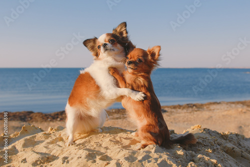 Photo  dog family of two small chihuahua pet hugging each other with mother and baby lo