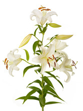 White Lily Plant
