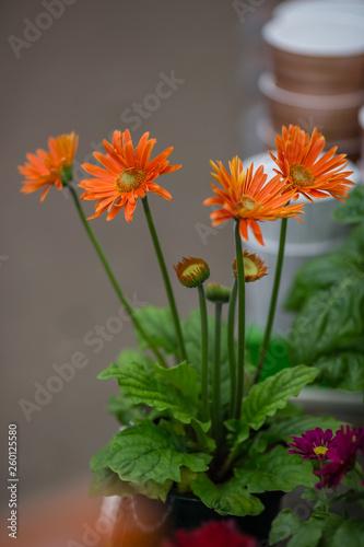 Poster de jardin Dahlia spring flowers in pots on the shelf of a flower shop