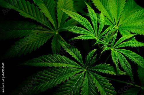 Photo  Large leaves of marijuana on a black background