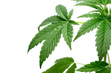 Green Cannabis Leaves Isolated...