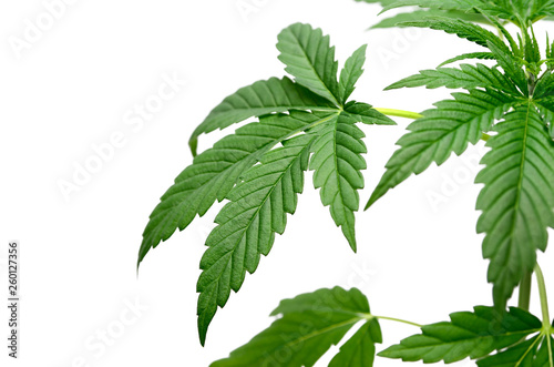 Fényképezés Green cannabis leaves isolated on white background