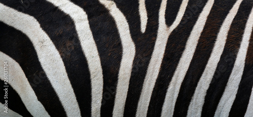 Poster Zebra Skin of Burchell's zebra is a southern subspecies of the plains zebra. It is named after the British explorer William John Burchell. Common names include bontequagga, Damara zebra and Zululand zebra