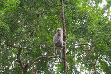 Macaque Sitting On The Tree, M...