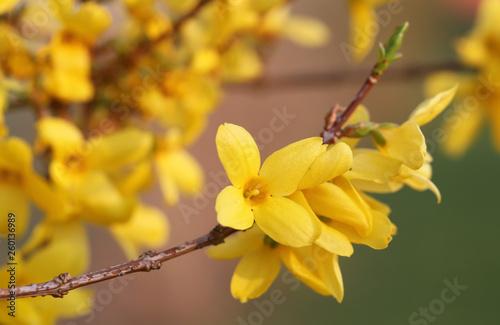 Fotografia Forsythia known as spring flower