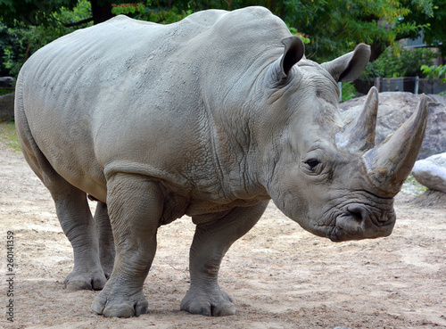 Fotografering The white rhinoceros or square-lipped rhinoceros is the largest extant species of rhinoceros