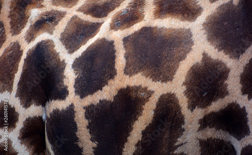 Giraffe (Giraffa camelopardalis) is an African even-toed ungulate mammal, the tallest of all extant land-living animal species, and the largest ruminant Wallpaper Mural