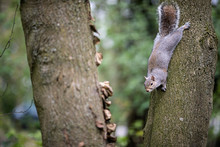 A Curious Squirrel Climbing Down A Tree In The Kent Countryside.