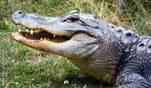 Fotografia An alligator is a crocodilian in the genus Alligator of the family Alligatoridae
