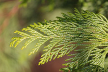 Branch Of Chamaecyparis Obtusa Or Japanese Cypress