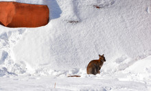 In Winter A Wallaby Is Any Ani...