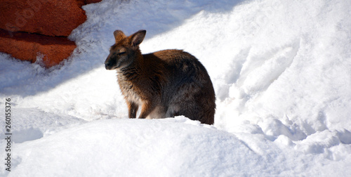 Fotobehang Kangoeroe In winter a wallaby is any animal belonging to the family Macropodidae that is smaller than a kangaroo and hasn't been designated otherwise.