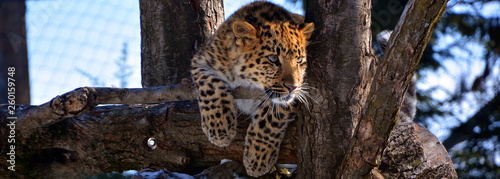 Amur leopard is a leopard subspecies native to the Primorye region of southeastern Russia and the Jilin Province of northeast China Canvas Print