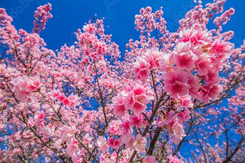 Fototapety, obrazy: Cerejeiras (sakura) rosas floridas