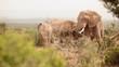 Elephants feeding on dense bush