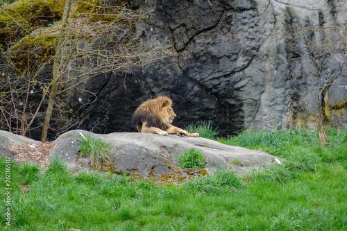 Fotografie, Obraz  lion