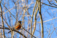 Sign Of Spring, American Robin Perched In A Tree Without Leaves, Against A Sunny Blue Sky