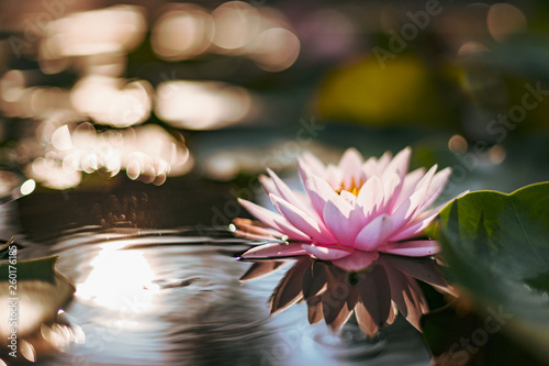 Foto op Aluminium Lotusbloem beautiful lotus flower on the water after rain in garden.